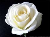 rose bl
